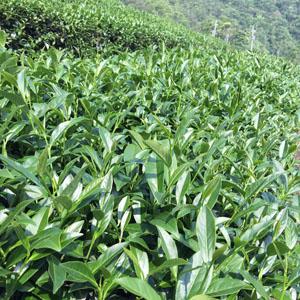 【台灣優質茶葉產銷資訊網】衛生安全製茶專區