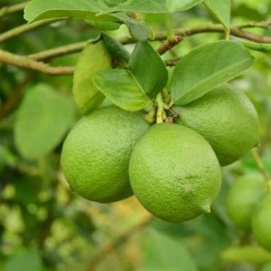 屏東四季產銷履歷檸檬(3斤)