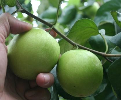 高樹檜香蜜棗每箱5台斤(中果)