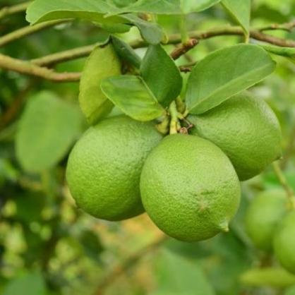 屏東四季產銷履歷檸檬(3斤)(台達電廠取)