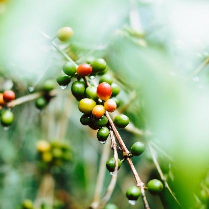 Linkn Coffee 靈感咖啡 咖啡櫻桃果肉茶