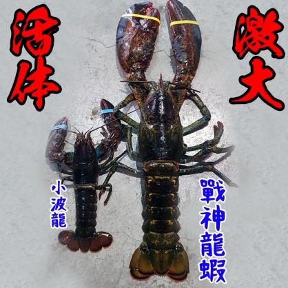 活體戰神龍蝦 2月17日報價$1680/kg *3.5公斤=5880 (不定重,先收3.5公斤的費用,多退少補) [T016]